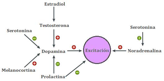 Excitación genital y hormonas