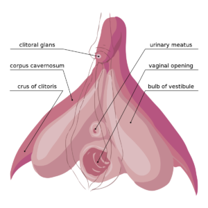 Clitoris en erección