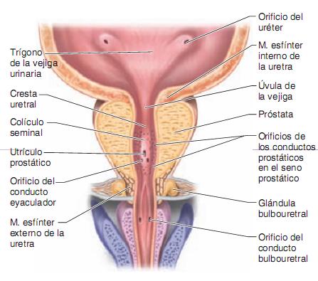 Incontinencia urinaria masculina y proceso de la micción